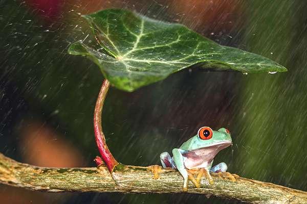 grenouille-parapluie-00