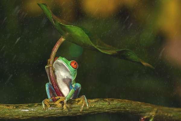 grenouille-parapluie-01