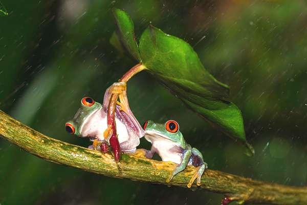 grenouille-parapluie-05