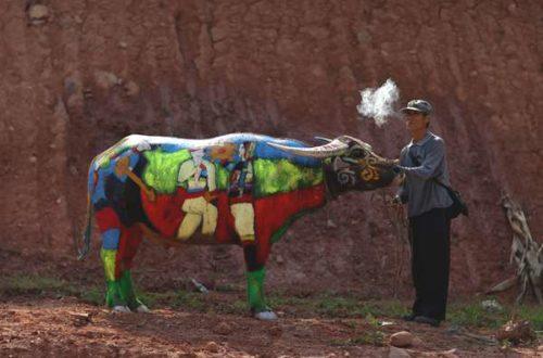 Article : Sacrées vaches